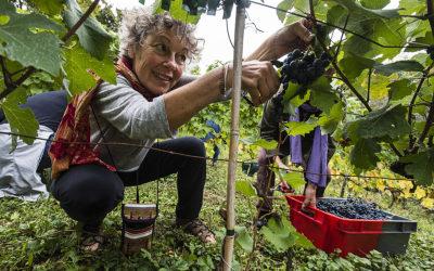 La vigne parisienne partage ses récoltes
